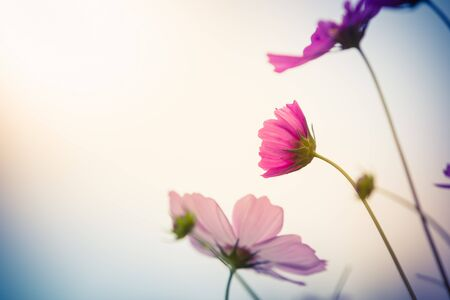 Cosmos flower (Cosmos Bipinnatus) with blurred background Stock Photo
