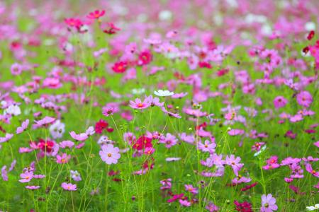Cosmos flower in field