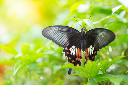 Mariposa en licencia verde