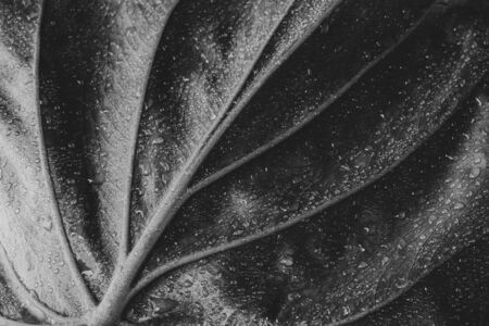 Alocasia cucullata leaf, Chinese Taro, Elephant Ear. Black and white filter Stock fotó