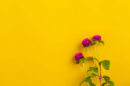 Globe amaranth flowers beautiful on yellow background