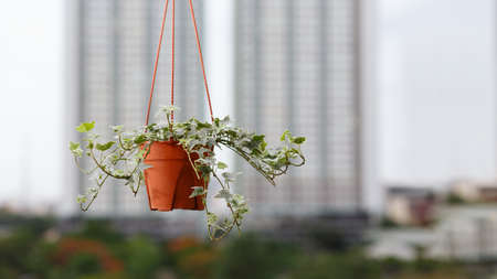 Houseplant concept of English ivy plant in pot on condo or building background