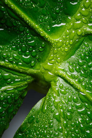Green Monstera leaf macro with water drops, Artistic perspective that looks like a female symbol. Standard-Bild