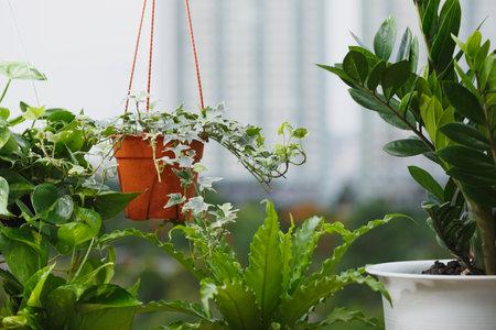 Home and garden concept with Zanzibar Gem, English ivy,Asplenium nidus, pothos . Houseplant on balcony  with building background Standard-Bild