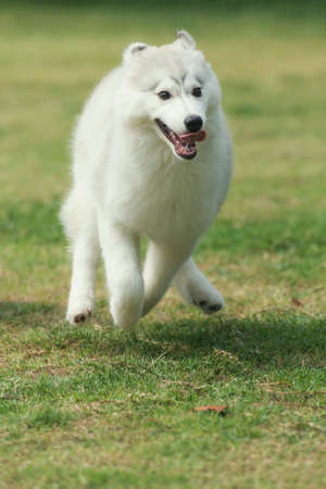 white dog: Syberian husky puppy running in the park