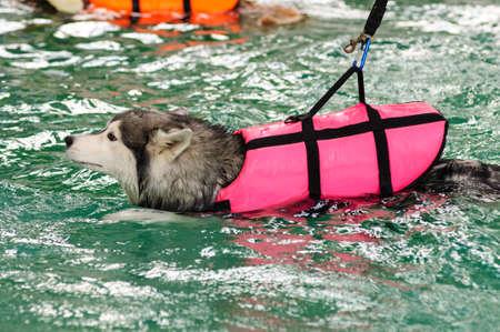 life jacket: Siberian husky swimming with life jacket