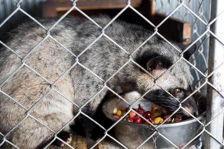 Kopi luwak coffee series : Civet in cage eating coffee berries