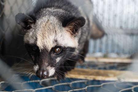 Kopi luwak coffee series : Civet in cage