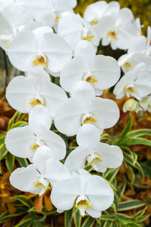 white orchids: Flowers series : White orchids in garden