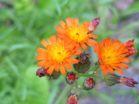 hawkweed: Orange hawkweed flowers