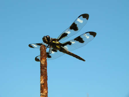 Twelve spotted skimmer dragonfly
