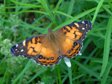 american butterflies: American painted lady butterfly