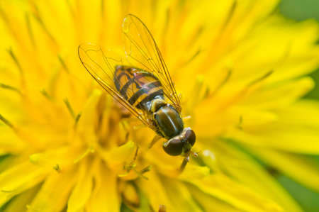 hover: Hover Fly on dandelion Stock Photo