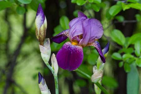 bearded iris: Bearded iris