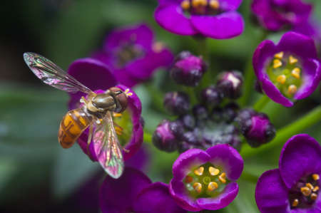 hover: Hover fly over purple Alyssum Flowers blossom Stock Photo