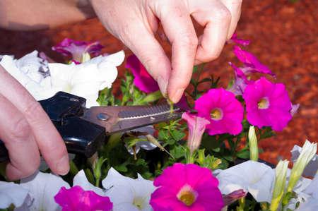 petunias: Cutting off the seedpods on a pot of petunias