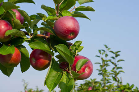 apple orchard: Apples on the trees in an apple orchard Stock Photo