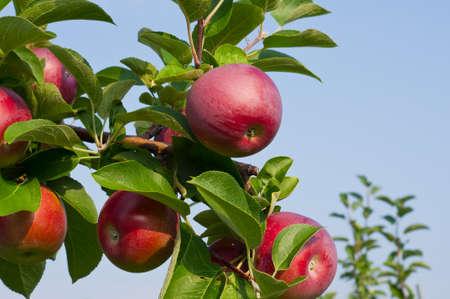 Las manzanas en los árboles en un huerto de manzanas Foto de archivo