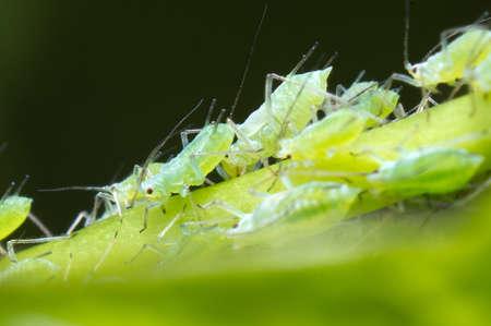 나팔꽃 식물에 진딧물의 침입