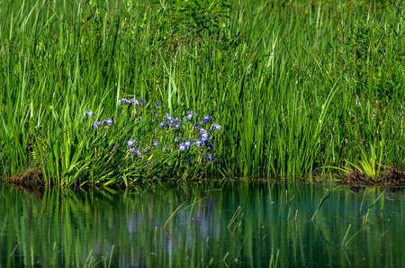 irises: Wild Irises Stock Photo