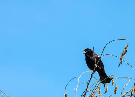 red winged: Red Wing Blackbird