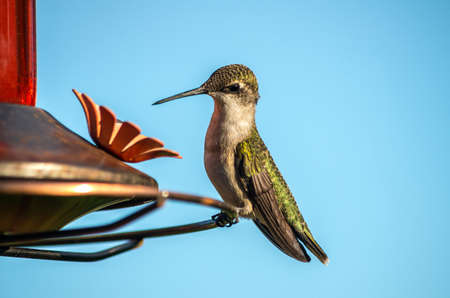 ruby throated: Ruby-throated Hummingbird at a feeder