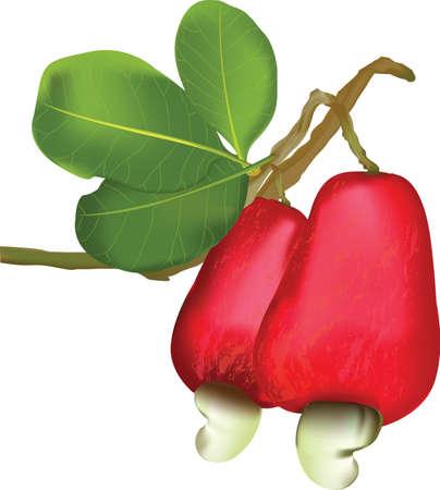 cashews: Cashew nut and fruit