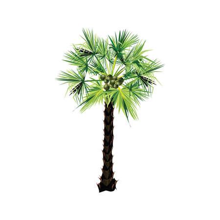 Sugar palm tropical tree 矢量图片