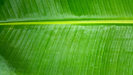 banana leaf background 版權商用圖片