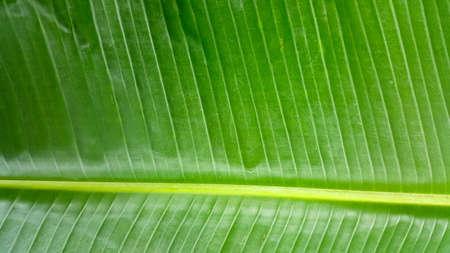 banana leaf green background 版權商用圖片