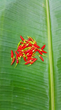 Home grown fresh long hot red chillies on banana leaf