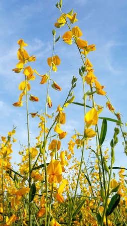hemp flower 版權商用圖片