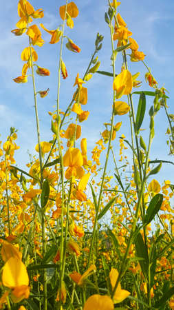 Madras hemp flower 版權商用圖片