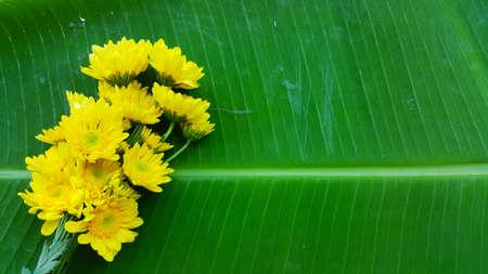 Yellow chrysanthemum flowers on banana leaf 版權商用圖片