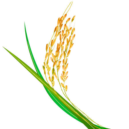 jasmine rice in asia
