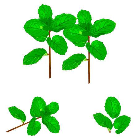 peppermint leaf nature Illustration