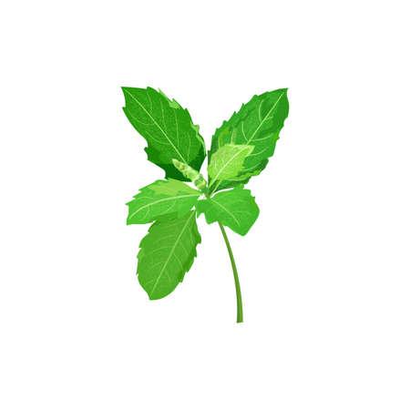 Ocimum basilicum or hairy basil leaf Illustration