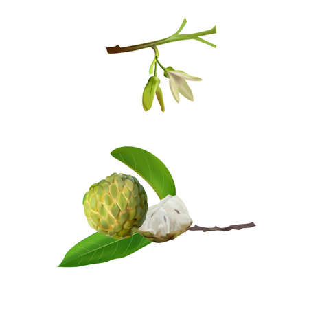 Custard apple fresh asia 矢量图像