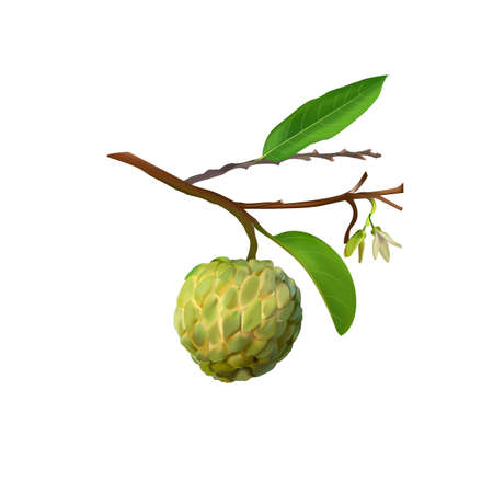 Custard Apple or annona Fruit On Tree and flower 矢量图像