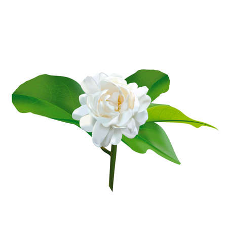 original thai jasmine flower
