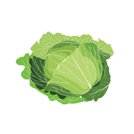 cabbage vegetable vector