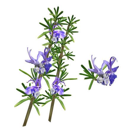 Beautiful Flowering Rosemary Herb Sprigs