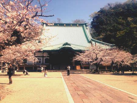 kamakura: Sakura tree outside Bhuddha temple in kamakura. Stock Photo