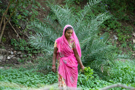 indian woman farmer works at agriculture field, harvests leafy green vegetable crop, copy space. Stock Photo