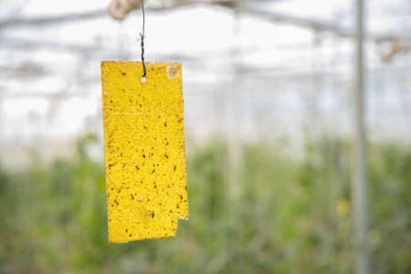 Yellow sticky card trap installed by farmer to control insects and pest in poly house or greenhouse, Eco-Friendly, organic farming concept. copy space, background.