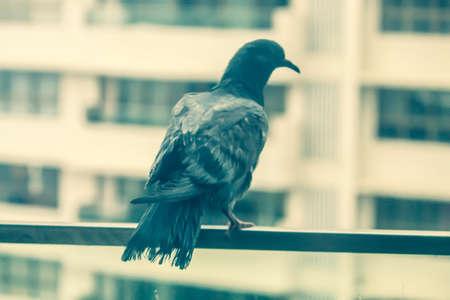 Pigeon sitting on the railing of veranda seeking shelter from heavy rains Stock fotó