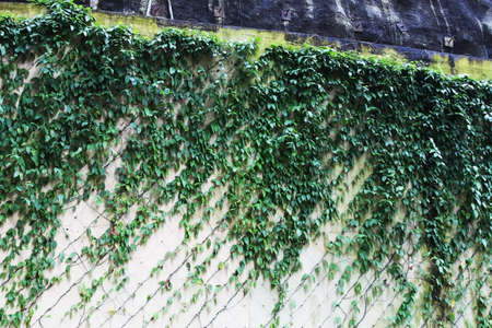 Pattern formed by leaves climbing on a wall by the sidewalk Imagens