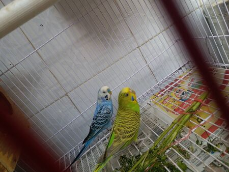 Colorful parrot in cage. Two Parrot Green And Sky Blue. 版權商用圖片