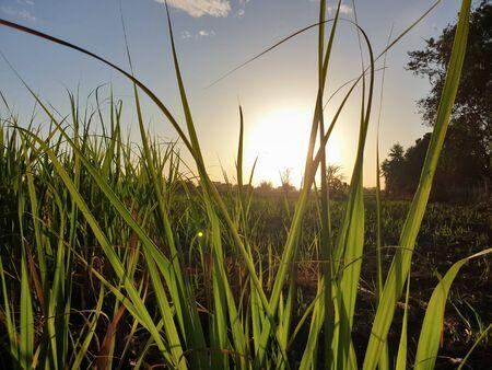 sun, field, farm and Sky. beautiful Nature landscapes. sun through corn field Foto de archivo