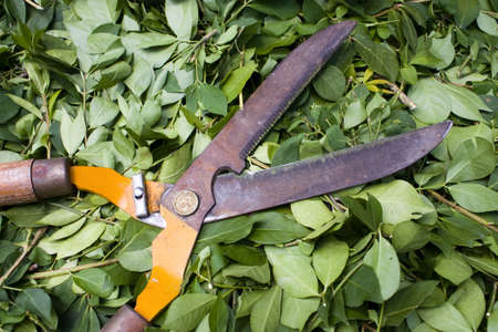 yard work: Garden Sheers sitting on green cut leaves Stock Photo